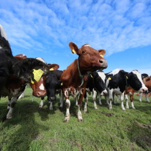 Lauma lehmiä laiduntamassa vihreällä laitumella.