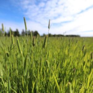 Vihreä peltomaisema.
